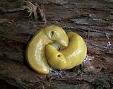 white slugs